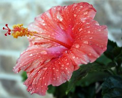 Flowers give beauty to their surrondings. (MrsTugboats) Tags: pink red brown white green water leaves yellow eos bokeh hibiscus waterdropsmacros