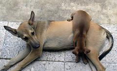 Downward Dog (musharooom) Tags: santiago dog puppy dominicanrepublic downwarddog galeta