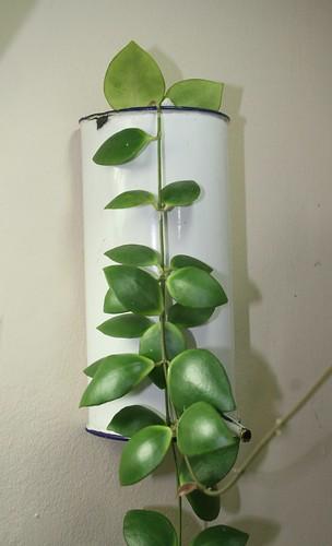 Hoya sp. Sulawesi 8863