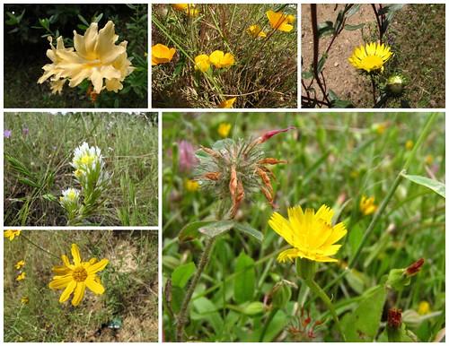 South Yuba Wildflowers - Yellow