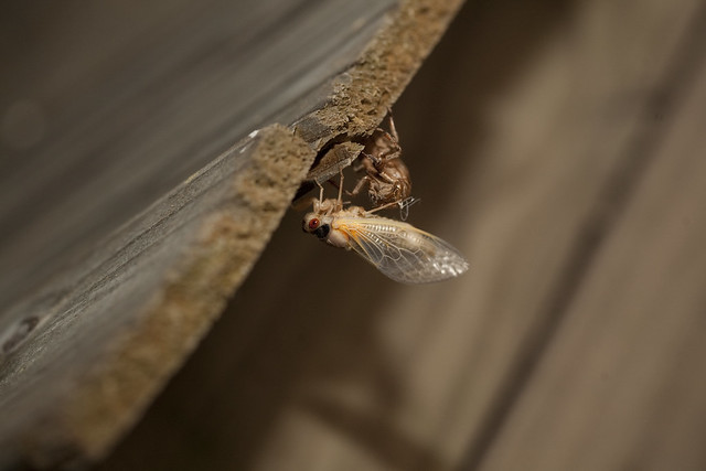 2011 05-11 Adam Thede - The Cicada Invasion
