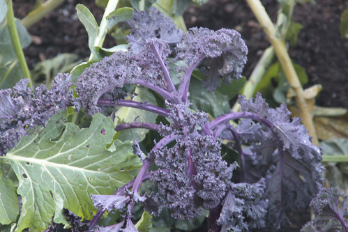 Purple Kale : A Touch Of Hendrix