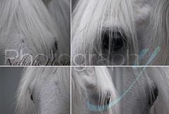 Etalon blanc (nathaliehupin) Tags: horse eye cheval oeil photographebruxelles nathaliehupin chevalgris photographeluxembourg photographehainaut photographenamur photographeliege photographemons photographebelgique wwwnathaliehupinbe wwwnathaliehupingraphismebe