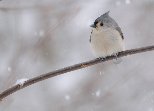 Tufted titmouse (Baeolophus bicolor) (by NikonMizar)