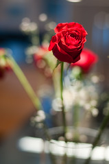 Roses for the performer (nosha) Tags: winter usa flower nature beautiful beauty rose 50mm newjersey nikon dof bokeh january nj creativecommons 2009 visualart 50mmf14 lightroom d300 f20 nosha fineartphotos nikond300 natuerycrap january2009