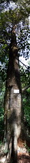 Mubende Witch Tree Stitch (ukweli) Tags: panorama tree kenya nairobi arboretum verticalstitch