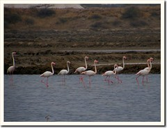 Greater Flamingos (by Jayesh Bheda)