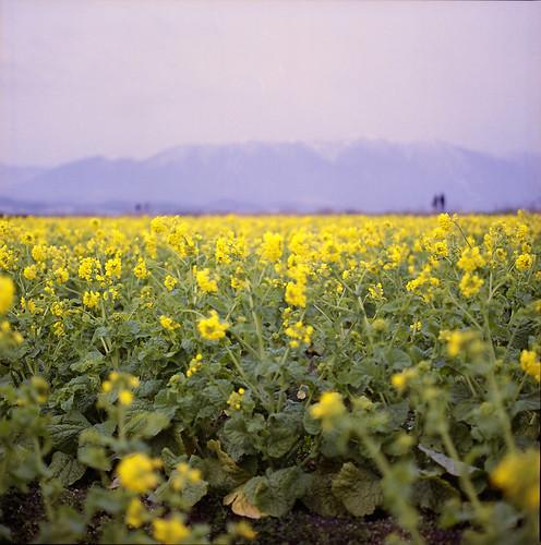 Rape blossoms field *3