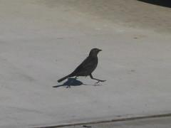 A LITTLE BIRDY TOLD ME... (parkbenchview) Tags: bird jump sidewalk birdy