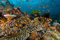 reef2146pcw (gerb) Tags: blue orange fish beautiful topv111 coral 1025fav 510fav wow topv555 topv333 underwater lovely1 topv999 scuba fv5 loveit pi 1224mmf4g topv777 d200 reef maldives anthias aquatica naturesfinest 3waychallenge tvx 3w5 sunkentreasureaward