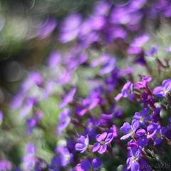 purple dream ... (_nejire_) Tags: uk light england plant blur flower green london nature canon eos flora kiss searchthebest bokeh britain 14 50mm14 explore pps carlzeiss greaterlondon 30faves fave20 supershot 10faves 20faves 40faves sooc 25faves nejire 400d eos400d canoneos400d kissx fave10 fave30 1035am hpps mhashi fave25 fave40 planart1450ze 9336625g050am 8633575g1130pm