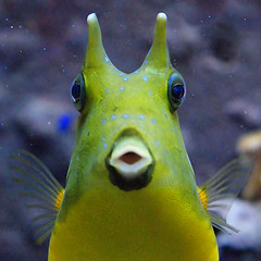 "Kuhfisch ""Longhorn Cowfish"" "" Lactoria Cornuta "" (Christine Gerhardt) Tags: fish yellow iso3200 aquarium fisch wilhelma tierfoto blickkontakt longhorncowfish christinegerhardt lactoriacornuta kuhfisch sonyalpha350"