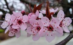 Ornamental Cherry (Pat's Pics36) Tags: pink flower cherry blossoms abbotsford ornamentalcherry palepink sonydscf707 potofgold