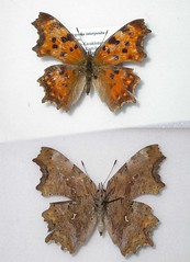 Polygonia interposita