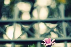 |X|X|X|X|✿:  102/365 (helen sotiriadis) Tags: flower canon fence published dof purple bokeh athens depthoffield amelie daisy 365 canonef50mmf14usm marousi αθήνα canoneos40d μαρούσι fencekeh cinnamonroseactionsandpresets toomanytribbles dslrmag νέαλέσβοσ
