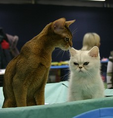 Sniff-sniff (Zerteh) Tags: white cat golden kitten moscow abyssinian catshow        russiansafari