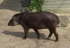 Tapir (Abi Skipp) Tags: tapir