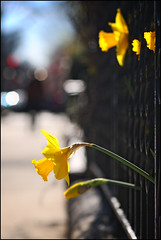 Is It Safe? (Pear Biter) Tags: flowers sunshine boston interestingness spring bokeh 85mm daffodils springtime commave 30d bostonist primelens happyspring bokehlicious peekingthroughafence