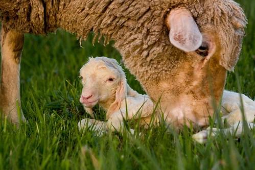 Neugeborenes Lamm