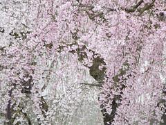 cherry (upjohn_freak) Tags: pink flower fleur cherry  fiore akita