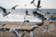 Cromer Seagulls, Cromer (Jeremy Webb Photography) Tags: winter seagulls birds coast seaside flock norfolk cromer jezza jeremywebb