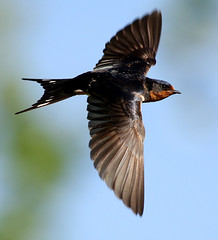 Barn Swallow (AllHarts) Tags: nature bbw barnswallow array wildernesstrails naturesfinest specanimal arealbeauty zoomonme avianexcellence excellenceinavianphotography shutterbox awesomebirds wildlifecontest goldwildlife naturesspirit natureselegantshots alittlebeauty pogchallengewinnershalloffame natureasphotographicart bestwildlifephotosaward feathersandbeaks exquisiteworldofnature naturesbeautifulphotography naturesprime naturescarousel thewonderfulworldofnature pickyourart naturallywonderful rainbowelite naturespotofgoldlevel1 birdsbirdsbirdsbirdsyougetthepoint ourwonderfulandfragileworld