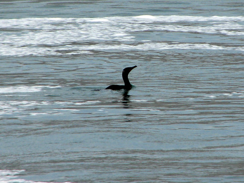 Cormorant swimming in Niagara River
