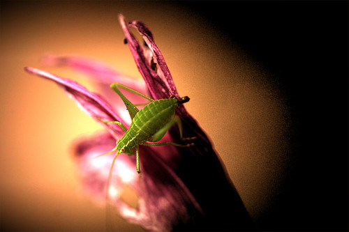Minuscule katydid