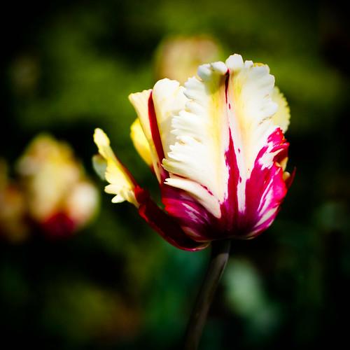Lomo: Red Parrot Tulip