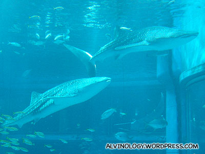 There are two whale sharks in the giant tank