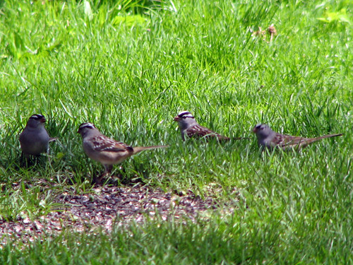 Gang of White-crowned Sparrows