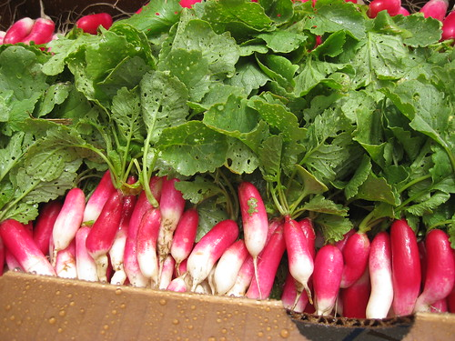 First Harvest: French Breakfast Radishes