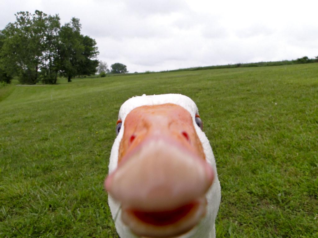 3563985252_fea9a98dc8_b crasher duck know your meme,Duck Meme