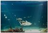 Serenity Now, Insanity Later (Sam Ilić) Tags: fish water shark tank under sydney blues australia monday hmb sydneyaquarium hapy 450d canon24105mm4