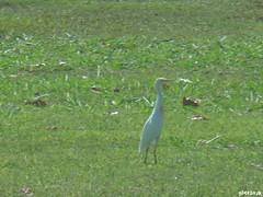 Cattle Egret - Hawaii by SpeedyJR (SpeedyJR) Tags: nature birds hawaii wildlife pearlharbor honolulu egrets cattleegret honoluluhawaii speedyjr