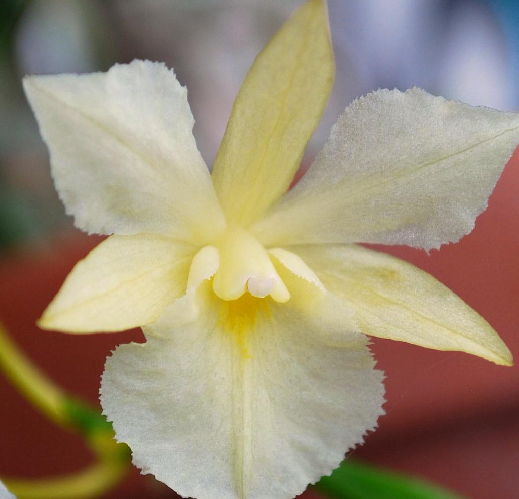 broughtonia  <BR>sanguinea alba