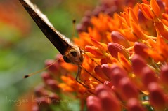 Butterflies are Free (Tracey Tilson Photography) Tags: summer orange flower macro nature field butterfly insect 50mm nc spring nikon friend colorful bokeh north pasture micro western carolina nikkor angela picnik bestie butterflyweed d90