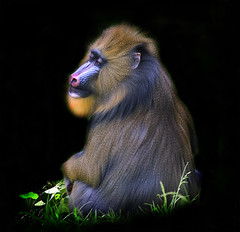 Mandrill on Black (Steve Wilson - classic view please) Tags: africa city uk england beautiful garden geotagged zoo monkey big nikon rainforest colorful cheshire african large conservation chester breeding tropical colourful endangered d200 geotag primate rare drill mandrill largest upton chesterzoo zoological zoologicalgarden nikond200 caughall flickrsfinestimages1 flickrsfinestimages2 flickrsfinestimages3