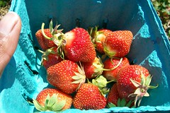spring 09 pics 023 (dadootdoots) Tags: spring strawberries farms organic