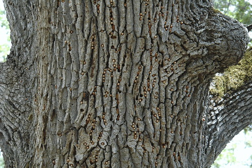 Acorn Woodpecker Granary