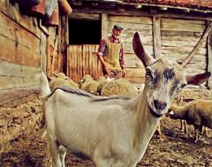 Harmony With Nature (Aleksandra Radonic) Tags: travel portrait people mountains nature closeup rural village serbia farming goat harmony balkans balkan biodynamic lookingatthecamera