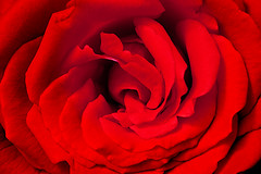 Rosa Roja - Red Rose (Juan Antonio Cap) Tags: red flower macro verde green texture textura fleur rose canon rojo pattern bokeh background flor rosa surface  blume makro fiore fondo muster textured  majorca bloem hintergrund superficie sfondo  kwiat  oberflche   modello patrn textur      trandafir  floare canon100mmmacrof28  biniali consistenza    canoneos5dmarkii    mallorcaillesbalears