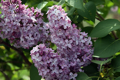 lilacs 058