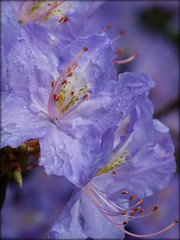 from the rhododendron park.. (Michiel Thomas) Tags: flowers flower color colour fleur fleurs germany deutschland colorful couleurs blumen rhododendron colourful farbe couleur duitsland farben rhodos rodo rhododendrons hobbie niedersachsen ammerland rhodo rhododendronpark badzwischenahn westerstede parkdergrten zwischenahnermeer rhodopark rostrup petersfeld httpwwwhobbierhodode rhododenrdron