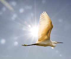 The Egret And The Sun (Tomasito.!) Tags: light shadow sky sun bird love beautiful animal sparkles clouds lens star fly photo amazing wings nikon bravo broth