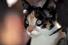 001643 D 300 (Massimo Marchina) Tags: italy animals cat italia gato katze gatto vicenza veneto mimì afsnikkor80200128dnikoned