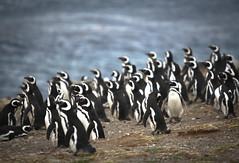 20091219 Mare Australis 284 (blogmulo) Tags: chile travel cruise patagonia pinguinos canon penguins ar viajes isla magdalena crucero canon450d magallanicos