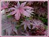 Ricinus communis (Castor Bean, Castor Oil Plant, Castorseed, Mexico Seed, Palma Christi, Wonder Tree, Jarak api/minyak in Malay)