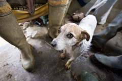 Bob (Jon Cartwright) Tags: dog nikon boots terrier jackrussell nikkor wellingtons gundog 1424 d700
