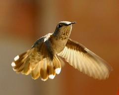 Spread wings & Feathers (o-rusty-nail) Tags: visualarts impressedbeauty crystalaward naturenolimits betterthengood fineartsphoto hummingbirdphotogrophy natureisallallisnature worldclassnaturephotos